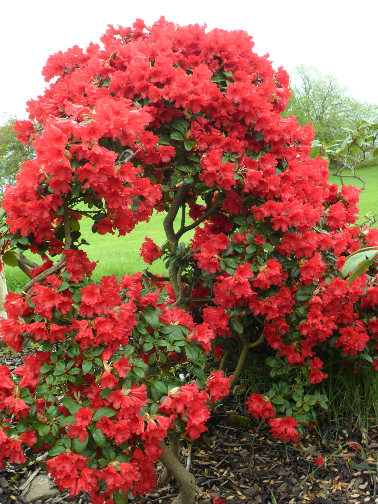 vwcampervan-aldridge:  Bright Red Azalea, Long Birch , Staffordshire, England  All Original Photography by http://vwcampervan-aldridge.tumblr.com  These remind me of the Flamboyan in PuertoRico.