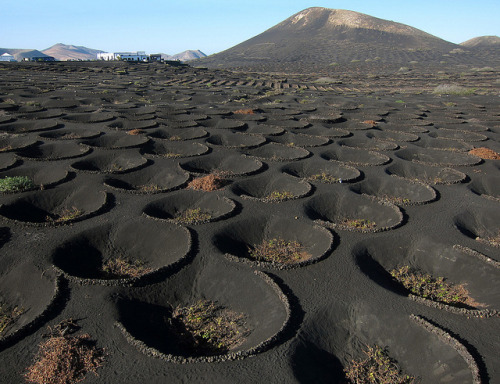 visitheworld:  La Geria wine district on the lava fields of Lanzarote Island, Spain (by de kist).  I've seen these. Lanzarote is pretty amazing for how resourceful it is. This is an island with NO water. They get about 3 weeks rain a year, and there's not even the tiniest stream or pond on the island. So they build these mini craters in the volcanic rubble and plant vines in them. So that the condensation that forms at dew point each morning, trickles down the sides and waters the plants, pretty ingenious :)