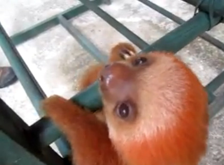 collegehumor:  Video: Baby Sloth Yodo Crying is Adorable There is never a limit for too much adorableness.