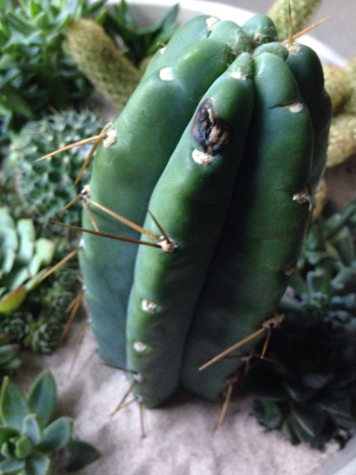 saveyoursucculents:  i-enjoy-myself Hii!! This wound was on this cactus when we bought him several weeks ago. It's hard to tell if it is getting better, or worse. Either way it is happening slowly. Any idea what it is, and if we can do anything to help it to heal itself? It's a trichocereus bridgesii and Peruvian hybrid. Thanks for your time! (: I can see why the blackened area would concern you. Usually when cacti are injured they'll heal over with a greyish brown scab. When it goes black like this its a sign that it may be rotting in that area. Personally, I'd use a sharp knife and gouge out the questionable area. It'll leave it with a noticeable chunk taken out of it, but a battle scar is better then letting it rot to death. Also, I spy some sand as soil cover, which I would recommend removing. Click here to read why. Good luck!