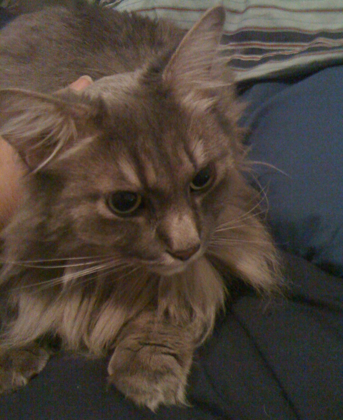 Pietro Appearance: A Pietro is a grey semi-longhair and incredibly handsome. He has big green-yellow eyes, long whiskers, huge paws, and a highly dignified mien. He is also extremely, extremely fluffy.  Like seriously. So fluffy. Sociability: B Pietro is perhaps TOO sociable. He enjoys attention and becomes quite annoyed if he feels that you aren't paying the proper amount to him. The proper amount being: all the attention. He is initially a little shy around strangers, but after he's observed them for a few minutes and determined that they are not attempting to steal his food, his bed (my bed), or his me (…me), he is very welcoming. He likes to be petted, sit on people and/or their belongings, to follow persons of interest from room to room, and to watch as people carry out various tasks. Provided those tasks do not involve too much concentrated attention on things that are not him. He also comes when called (if he feels like it) and is very free with his kitty kisses. Usefulness: F He's a cat… I'm pretty sure he is contractually obligated to be of no use at all ever. Though, I will say that every once in a while, he sleeps on my feet and keeps them warm. Huggability: A Because he is so excessively fluffy, Pietro is extremely huggable. He also enjoys hugs very much and will sometimes demand them as soon as you sit still for long enough for him to jump into your lap and headbutt your face or wiggle himself into the cradle of your arms. (The latter works best, he has found, when you are already holding something else.) Overall Grade: C+