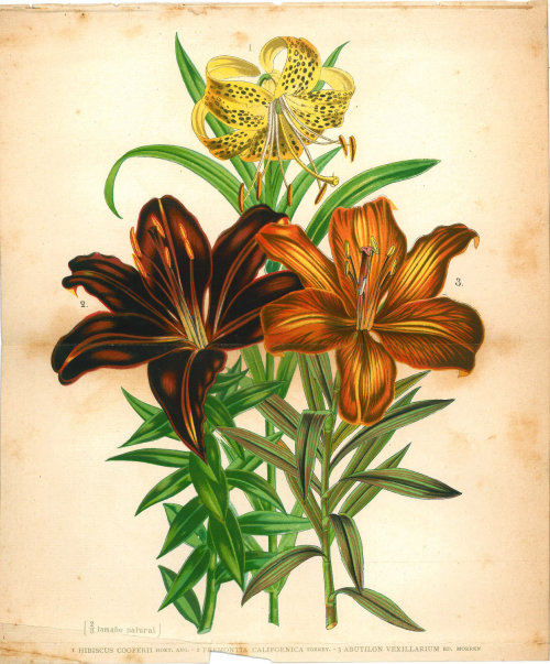 1893 Antique Botanical Print Color Lithograph Hibiscus California Flannelbush Abutilon at CarambasVintage http://etsy.me/15VTwXr