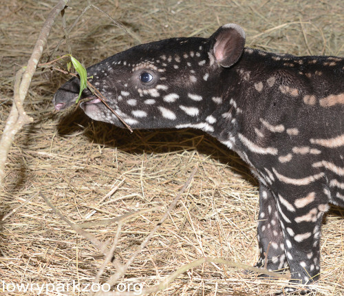 Why does the tapir have a long nose?