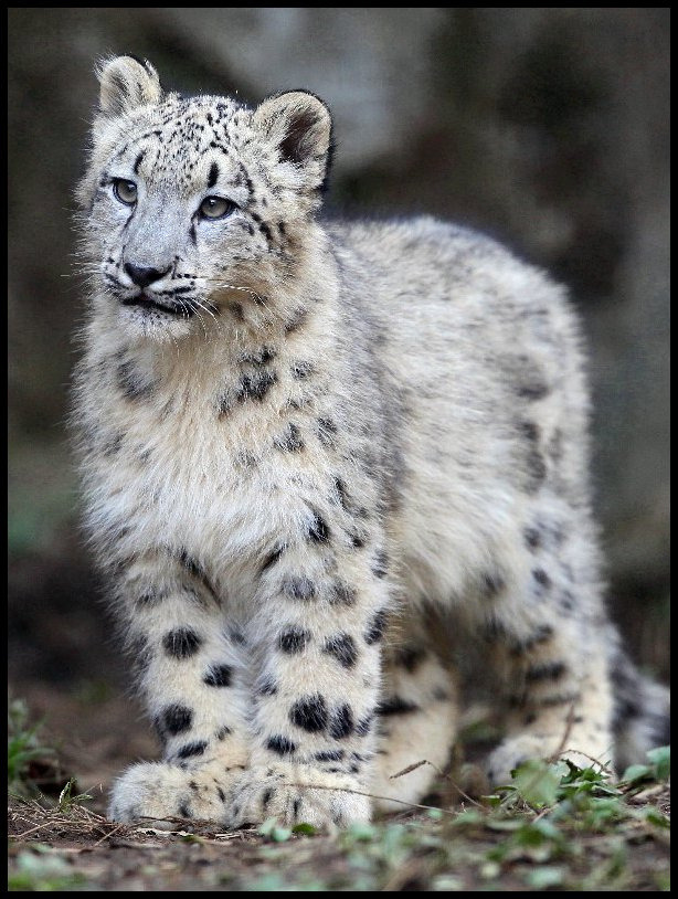 llbwwb:  Snow Leopard (by Steve Tracy Photography)