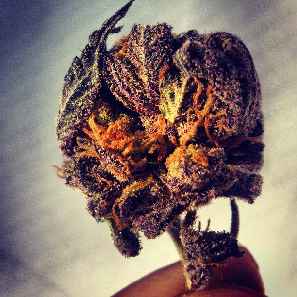 such a beautiful nug  i almost couldnt smoke it….but i did hahaha