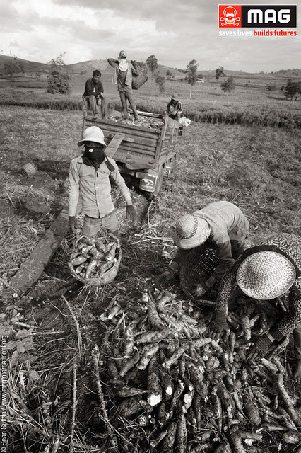 Pic of the Day: Villagers harvesting cassava on land that was once seeded with deadly landmines  This photo from Pailin district, one of the most fertile parts of Cambodia. As a result of nearly three decades of conflict, Cambodia remains one of the countries most severely affected by landmines.www.maginternational.org