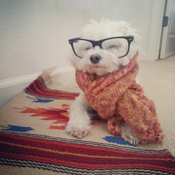 Brrrr! I could definitely use a cup of tea right now. #hipsterdog #Maltese #cute #malteseofinstagram
