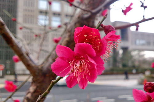 Ume 梅 by anatolia_jp on Flickr.