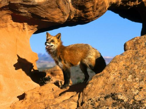 Desert Fox by Peasant.