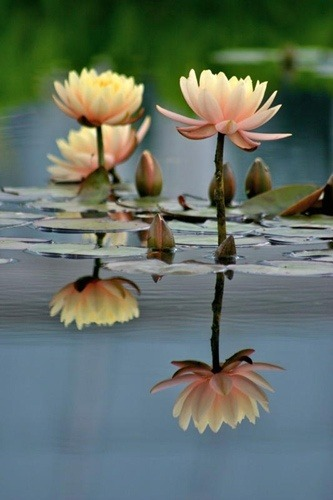 flowersgardenlove:  Lily Pads & Tall Lot Flowers Garden Love
