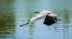 Great Blue Heron, flight
