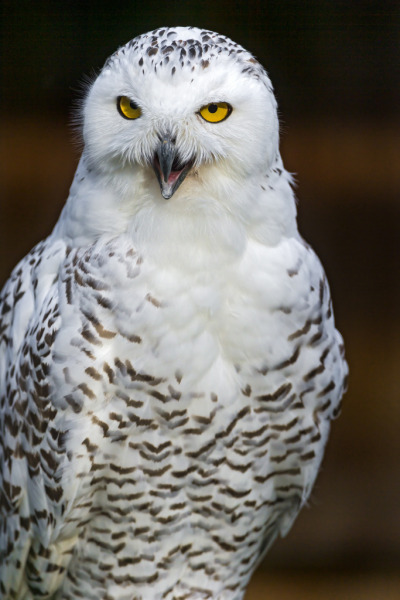 Snowy owl with open mouth looking downwards (by Tambako the Jaguar)
