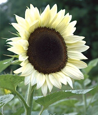 Sunflower ~ coconut ice hybrid