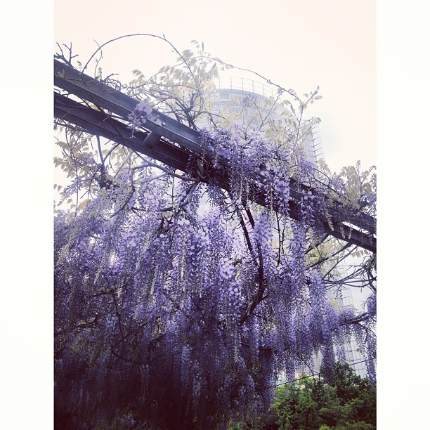 Beautiful wisteria in the Deutsche Welle grounds obscuring the Post Tower today #walkswitharchie #werk