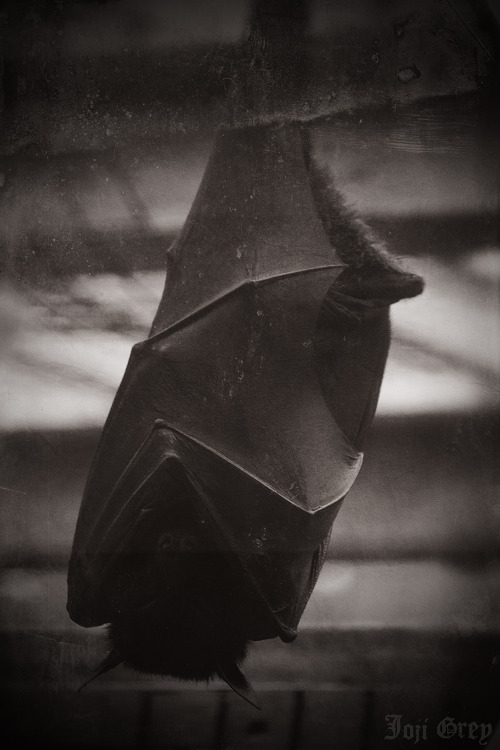 Sleepy Bat. Taken at Columbus Zoo, Ohio