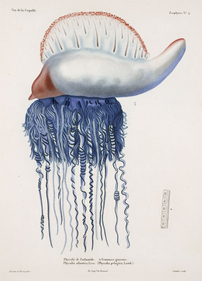 scientificillustration:   Portuguese Man O' War, by René Lesson and Pancrace Bessa, from Louis-Isidore Duperrey, Voyage autour du monde, 1825-30.