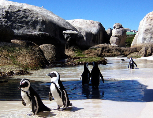 Boulders Beach, near Cape Town, South Africa. Praia Boulders, perto da Cidade do Cabo, África do Sul. Photo copyright: François de Halleux aka fanz