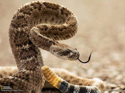 magicalnaturetour:  Diamond rattlesnake In the U.S., the largest snake – is the diamond rattlesnake. It grows to a length of 2 meters. Diamond rattlesnake is considered among the most poisonous rattlesnake. The tip of its tail, as well as other members of the species of rattlesnakes, adorns the rattle of the hardened remnants of the old skin. (Photo by Fred LaBounty)