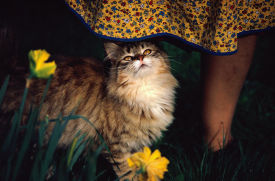 Bruce Dale - Close view of a pet cat named Goldie (National Geographic - July 1972)
