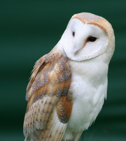 evocates:  Barn Owl (Tyto Alba) by Stevie-B on Flickr.   Majesty