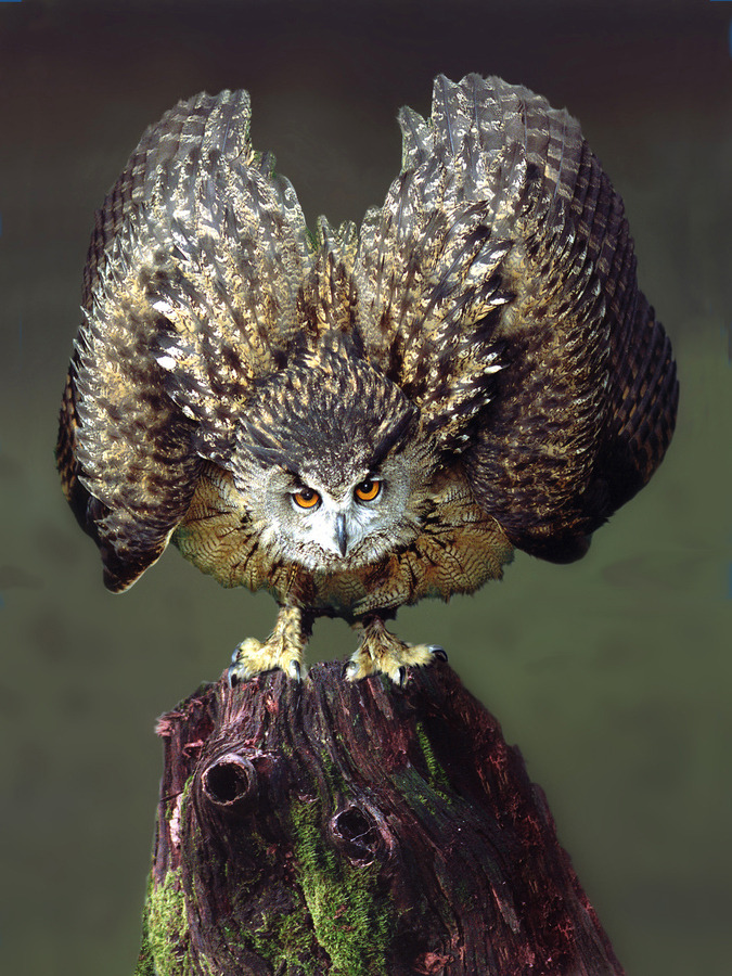the-absolute-best-photography:  llbwwb:Eagle Owl by Ronald Coulter.  You have to follow this blog, it's really awesome!