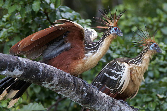 Hoatzin (Opisthocomus hoazin) by Ardeola on Flickr.