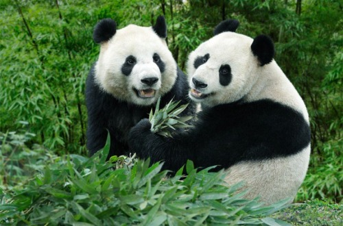 tropical-vanillaa:  giraffe-tribe:  Pandas :) my upload not picture :)  awh