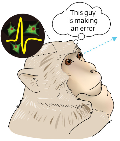 "My mistake or yours? How the brain decides Humans and other animals learn by making mistakes. They can also learn from observing the mistakes of others. The brain processes self-generated errors in a region called the medial frontal cortex (MFC) but little is known about how it processes the observed errors of others. A Japanese research team led by Masaki Isoda and Atsushi Iriki of the RIKEN Brain Science Institute has now demonstrated that the MFC is also involved in processing observed errors. The team studied the brains of monkeys while the animals performed the same task. Two monkeys sat opposite each other and took turns to choose between a yellow and green button, one of which resulted in a liquid reward for both. Each monkey's turn consisted of two choices. After blocks of between 5 and 17 choices, the button that resulted in reward was switched unpredictably, usually causing an error on the next choice. The choices made by each monkey immediately after such errors, or errors that were random, showed that they used both their own errors and their partner's to guide their subsequent choices. While the monkeys performed this task, the researchers recorded activity of single neurons in their brains. In this way they were able to determine which behavioural aspect was most closely associated with each neuron's activity, explains Isoda. ""We found that many neurons in the medial frontal cortex were not activated when the monkey made an error itself, but they became active when their partner made an error."" This brain activity shows that it is the MFC which processes observations of another's error, and the corresponding behavior shows that observing and processing such errors guides subsequent actions. ""Such error identification and subsequent error correction are of crucial importance for developing and maintaining successful social communities,"" says Isoda. ""Humans are tuned into other people's mistakes not only for competitive success, but also for cooperative group living. If non-invasive techniques become available in humans, then we should be able to identify medial frontal neurons that behave similarly."" Having identified the MFC as being involved, Isoda now wants to delve deeper into the process. ""The next steps will be to clarify whether the inactivation of medial frontal cortex neurons reduces the ability to identify others' errors, and to determine whether other brain regions are also involved in the processing of others' errors."""