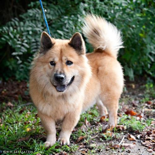 Sparky the Corgi Chow needs a home in New York.