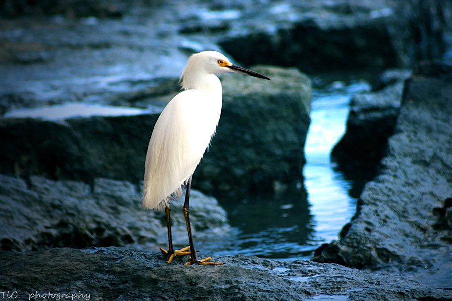 animals-animals-animals:  Snowy Egret (by TlCphotography730)