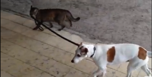 Video: Cat Walks the Dog Home [click to play] It's because the dog cleaned out the litter box