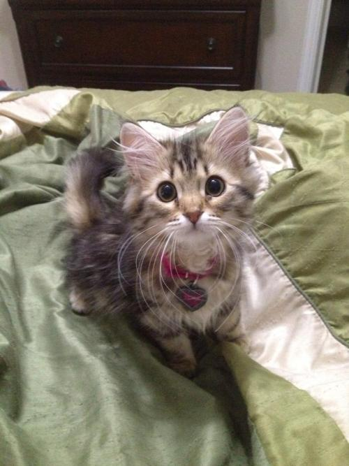 rustykittens:  aubreyli:  THIS KITTY IS THE CUTEST KITTY OMG, LOOK AT THOSE WHISKERS!  can i has