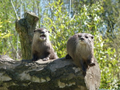 dailyotter:  One Otter Sings While the Other Plays the Log Bongo Thanks to Rebecca, who writes:  They came and posed for us above the fence line so we could get a decent shot. This is 30m before their feed time, so they were super friendly and came right up to us at the fence too.