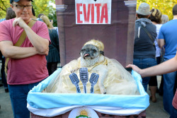 LOL Halloween pug costume pugs Evita dogs in costumes pug costumes dogs in costume dog costumes