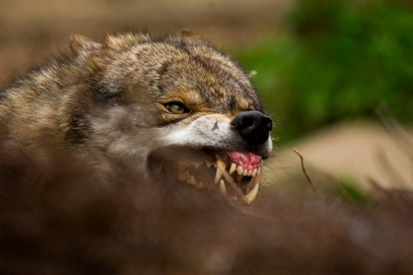 animals wolf nature eating wolves Snarl agameofwolves •