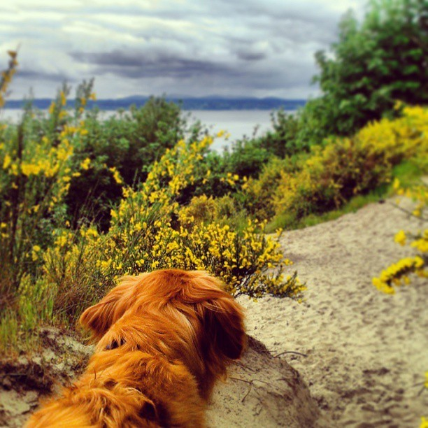 Trail run with the monster. Discovery Park is a gem. #Seattle  (at Discovery Park)