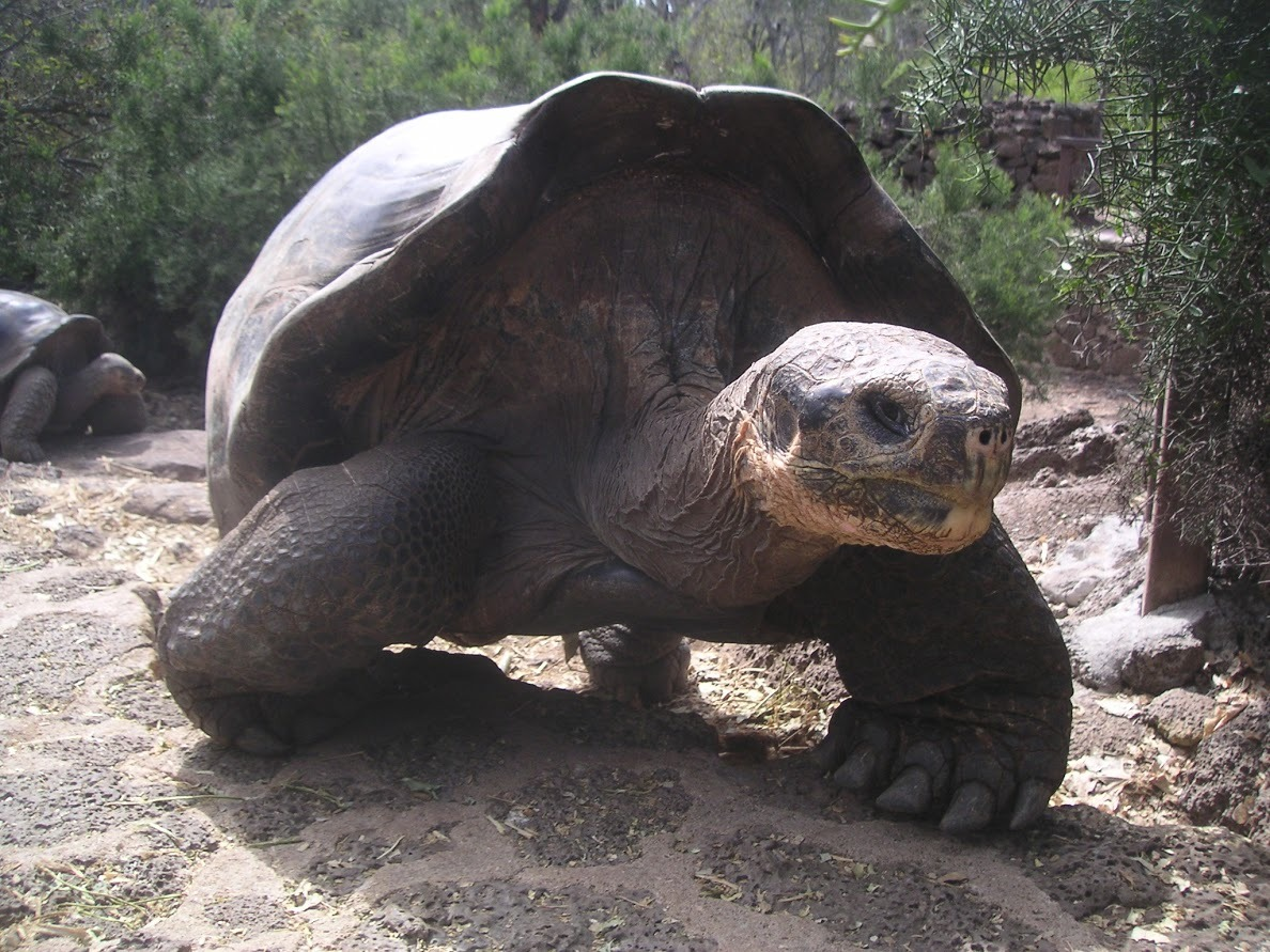 Museum Helps Preserve Iconic Tortoise Lonesome George Lonesome George, the world-famous Pinta Island tortoise who was the last of his kind when he died in June 2012, will be preserved in consultation with scientists from the American Museum of Natural History and by the same expert taxidermy and conservation team that worked on the acclaimed renovation of the Museum's Bernard Family Hall of North American Mammals. An icon for biodiversity conservation, Lonesome George will be on display at the Museum for a limited time starting this winter before he is returned to the Galápagos. As reported today in The New York Times, the Museum is working closely with the Galápagos National Park Service, SUNY College of Environmental Sciences and Forestry, and the Galápagos Conservancy to prepare Lonesome George's body and spread awareness of the importance of conservation. Watch a video about Lonesome George and his preservation here.