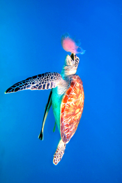 gl0vving:  imalikshake:  Green Sea Turtle eating Jellyfish - Dimakya, Philippines by Ai Gentel on Flickr.  Aw, Philippines has its own natural beauty! And did you know that every year hundreds of new animals are discovered? And always we filipinos saying,  ITS MORE FUN IN THE PHILIPPINES!