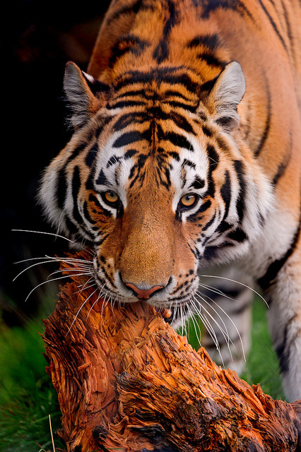 acidus:  Tiger biting the wood by Tambako the Jaguar