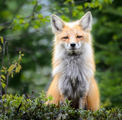 beautiful-wildlife:  FoxbyLaurens Kaldeway
