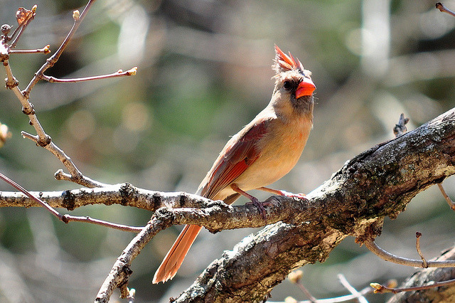 Female American Cardinal on Flickr.