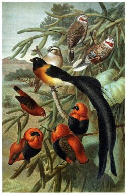 oldbookillustrations:  Weaver birds (Ploceidae).  From Brehms Tierleben (Brehm's animal life) vol. 4, under the direction of Alfred Edmund Brehm, Leipzig & Vienna, 1900.  (Source: archive.org)