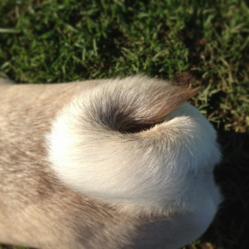 Pug tail #pug #dog #park #tail (at St Leonards Park)