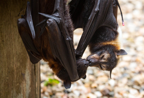 baturday:  Bat Smooch