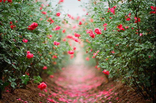 serendipity-precious:  Lối hoa by HaN2T on Flickr.