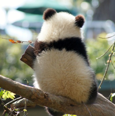 fictionspulp:  Giant panda cub Xiao Liwu at the San Diego Zoo, California, on March 6, 2013. © LeeLee 3680.
