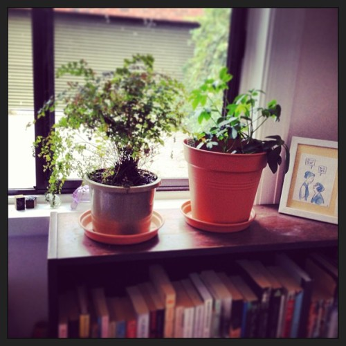 Maidenhair and umbrella plant, my study (indoor jungle 3)