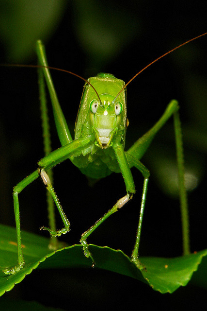 """If you're happy and you know it, clap your hands……"" Katydid or Bush Cricket (Phaneropteridae)  by Sinobug (itchydogimages) on Flickr. Pu'er, Yunnan, China  See more Chinese grasshoppers and crickets on my Flickr site HERE….."