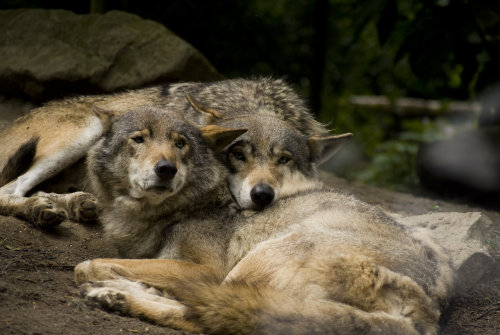 animals-are-hype:  Wolves by ~PanDaemonAeon1