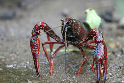 Crawfish: A One Species at a Time Podcast For centuries, human commerce has played a role in distributing plant and animal species around the globe. But not every species can claim the title of circumnavigator. In this week's episode, Ari Daniel Shapiro journeys to the Gulf Coast of the U.S. to meet a tiny Magellan, the star of an unlikely story that has come full circle. Listen to Podcast Explore Extras Subscribe to the One Species at a Time Podcast on Apple iTunes To learn more about how to use EOL's One Species at a Time podcasts in the classroom and in broadcast media, please see our Podcast Guide for Educatorsor contact the EOL Learning & Education group. Public Domain photo from Wikimedia Commons (source)